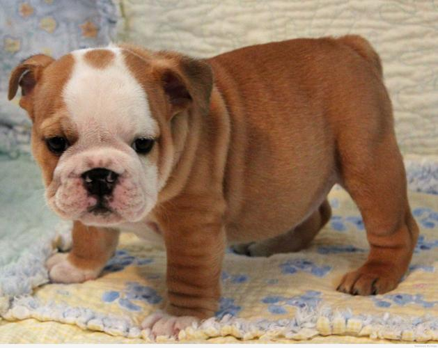 FREE Beautiful En.gl.ish Bu.lld.og Pu.pp.ies Available (912) 421-3500