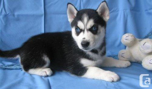 Blue Eyes male and female Siberi.a.n hus.k.y Pu.ppies ) Need Hom  (719) 982-8517