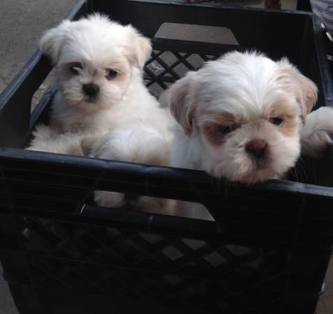 ** Shih Tzu Puppies;(256) 756-4923