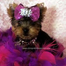 SWEET Y.O.R.K.I.E Puppies:??? (206) 451-8391