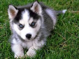 Male and female Siberian Husky pups (307) 215-9735