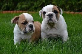 Affectionate M/F English B.u.l.l.d.o.g Puppies!!!254 836 2882