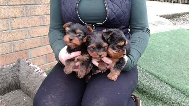 ?Y.o.R.k.i.e P.upp.i.e.s For F.r.e.e, Ready Now 12 Weeks Old (661) 375-7048