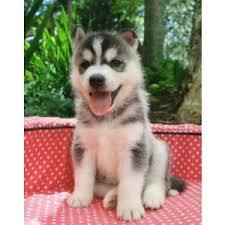 !!FREE Quality siberians huskys Puppies:!!contact us at (443) 863-9158