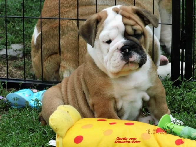 Bulldog Free to good homes