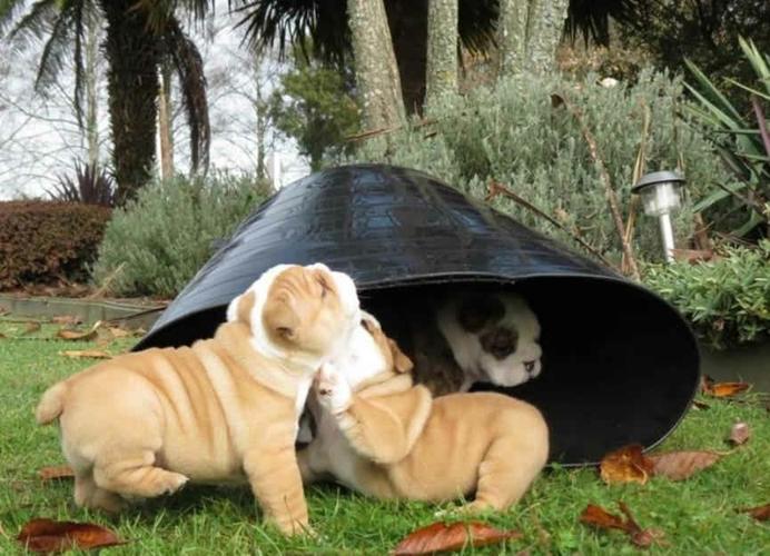 READY FOR HER FOREVER HOME EnglishBulldog Female(707-405-6314)