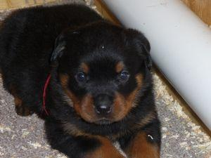 *Top Quality Female and Male R.o.t.t.w.e.i.l.e.r puppies (301) 966-2862**