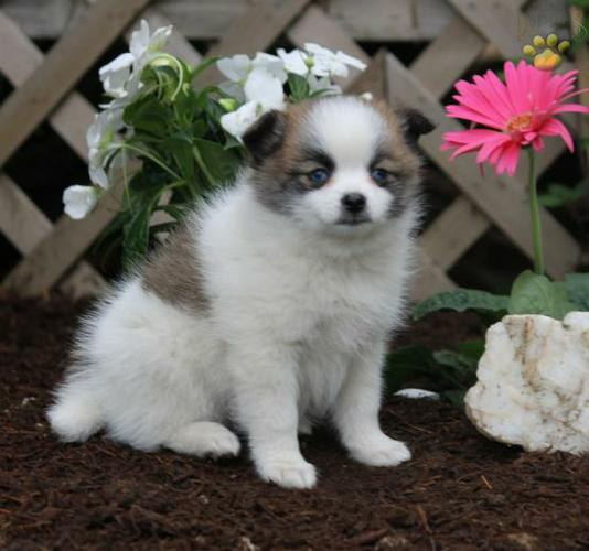 ?????? FREE??? Quality Male and Female POMSKY Pups Available. ???(478) 569-5957