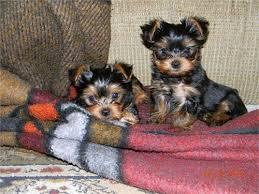 Cute Male And Female Y.O.R.K.I.E P.u.p.p.i.e.s for good homes(240) 466-803