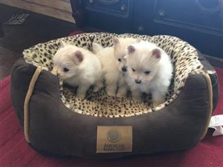 Male And Female P.O.M.E.R.A.N.I.A.N P.u.p.p.i.e.s for good homes