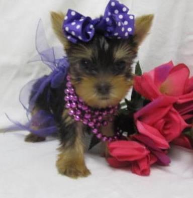 Tiny and Playful Teacup Puppies