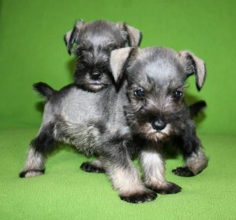 Cute Miniature Schnauzer Puppies Ready For Sale. Text only at 785 X 43O X 62 X 52