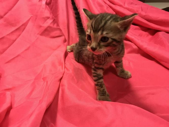 Beautiful M/F Bengal Kittens For Sale.