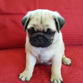 Trained Pug Puppies Ready For Sale. Text only at 785 X 43O X 62 X 52