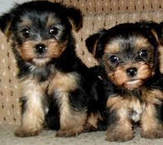 Cute Male And Female Y.O.R.K.I.E P.u.p.p.i.e.s for good homes(240) 466-8033