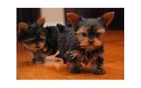 Cute Male And Female Y.O.R.K.I.E P.u.p.p.i.e.s for good homes(240) 466-8033