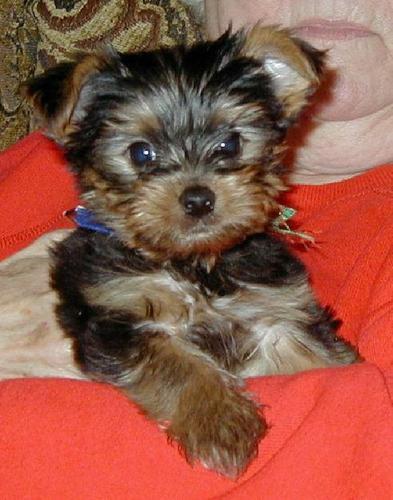 ??Pretty Female and Male Y.o.r.k.i.e puppies?? ...415-735-9700..