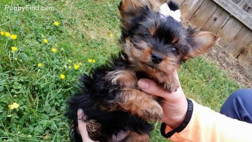 ++TEXTME NOW ON (310) 596-2260  Sweet Looking Teacup Yorkies Puppies ready