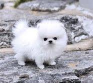 Sweet .Mini P.o.m.e.r.a.n.i.a.n puppies!!!sms (570) 798-3862