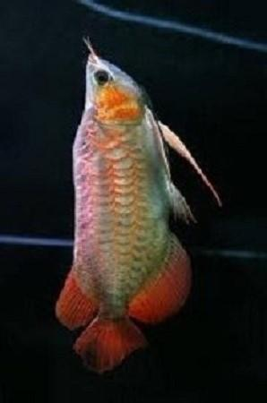 Best price  premium Arowana fish for sale (shipping available)