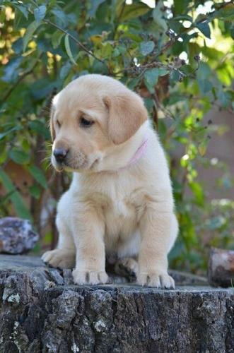 FREE Quality Labrador Retriever  Puppies:contact us at(218) 303-5958
