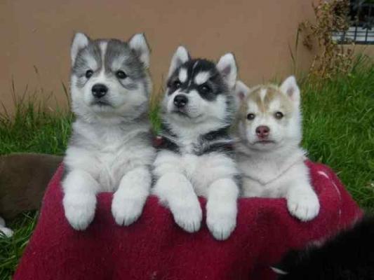 CUTE S.I.B.E.R.I.A.N H.U.S.K.Y Pups**(410) 424-6477 ***