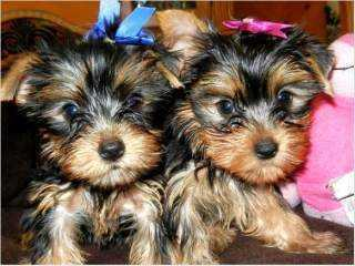 # ?? Quality Teacup Yorkies Puppies:....??** (443) 595-6290