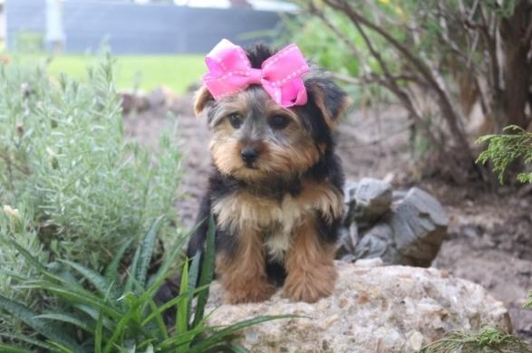 Tiny CUTE Tea-cup Yorkies Pu.ppies  For New Home