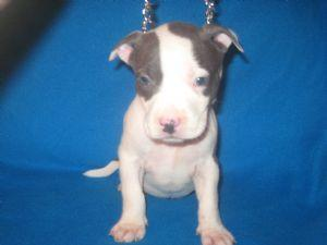 Quality amerucans pittbulls Puppies:contact us at (915) 257-9137