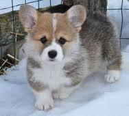Amazing W.E.L.S.H. C.O.R.G.I Pups Ready now (915) 257-4937