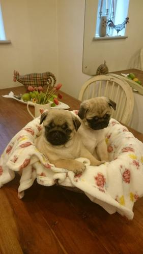 2 gorgeous pug puppies left