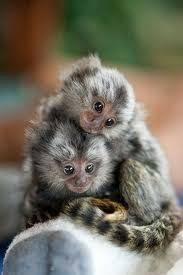 X-Mas pygmy marmoset monkeys available for adoption (480) 999-6612.