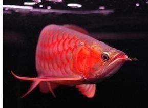 BEST QAULITY SUPER RED AROWANA