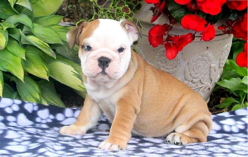 Free English Bulldogs Puppies