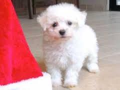 Top Quality Malteses Puppies:....contact us at(301) 690-0247