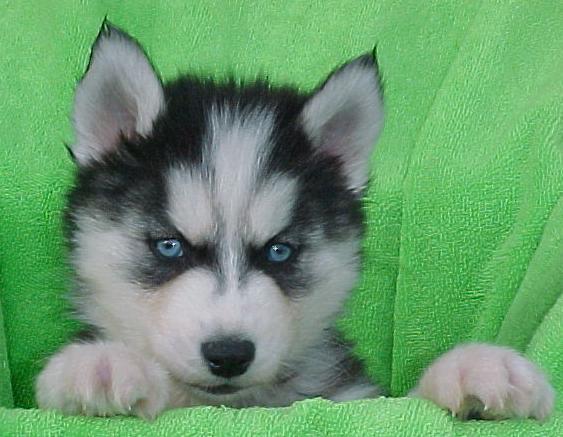 Black and White S.I.B.E.R.I.A.N .H.U.S.K.Y Puppies  (678) 693-3591