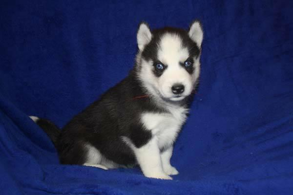 Cute Husky puppyready for adoption by a dog lover contact5712508498