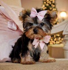* # #  Quality Teacup Yorkies Puppies:....**