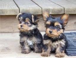 * # #  Quality Teacup Yorkies Puppies:....** (402) 413-1863