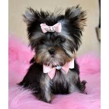 Tiny Y.o.r.k.i.e Puppy ...(651) 347-6712