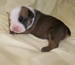FRRE*FREE we have 2 FREE*FREE CUTE E.n.g.l.i.s.h B.u.l.l.d.o.g Puppies CONTACT US VIA EMAIL FOR MOR