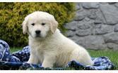 ?Top Quality cute Gol.den R.e.t.r.i.e.v.er Pups contact me at?(719) 400-0121....