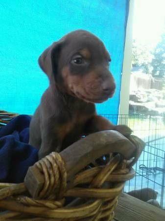 !!@#FREE Quality DOBERMAN PINSCHER PUPPIES: FOR GOOD HOMES !!#@contact us