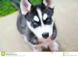 .. We have beautiful and Cute H.U.S.K.Y Puppie.s