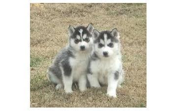 Quality siberians huskys Puppies:???contact us at (980) 269-1015