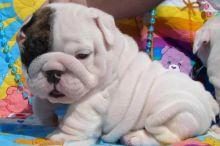 GORGEOUS MALE and FEMALE B.U.L.L.D.O.G P.u.p.p.i.e.s Available (301) 747-6492