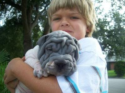 Handsome Shar Pei puppy fpr rehoming.