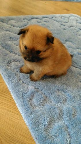 !!Male and Female Pomeranianss Puppies Available  740 936 3019