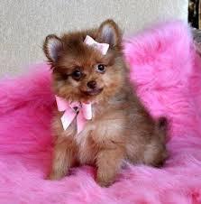 AKC, Pomeranian Pups
