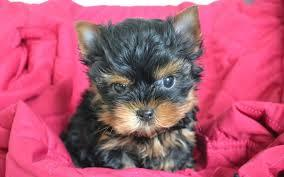 ?????? FREE Top Quality yorke Puppies:....contact us at(770) 232-6588???